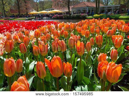beautiful orange tulips under a spring sun