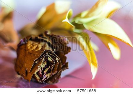 Withered rose on pink table with yellow leafs