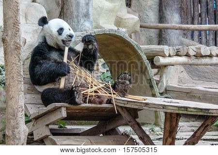 Chiang Mai, Thailand - July 23, 2011: a funny Giant Panda, Ailuropoda melanoleuca, eating bamboo in Chiang Mai Zoo, the first and only zoo in Northern Thailand. side view.