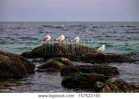 Common gulls sittiing on rocks with blue sky above