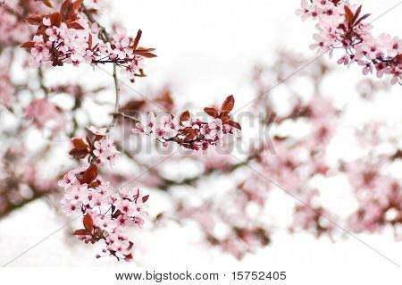 Pink Cherry Blossom In Early Spring