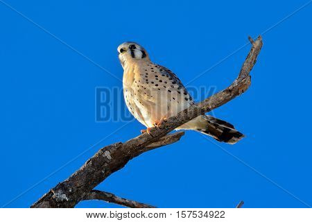 AMERICAN KESTREL or SPARROW-HAWK Falco sparverius perched on dead branch. Clear blue sky background.