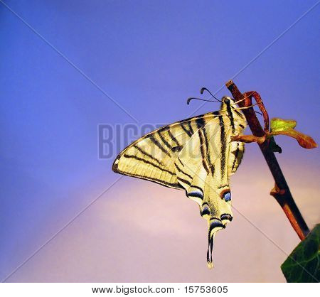 Butterfly Papilio Machaon In A Branch Of Rural Ivy