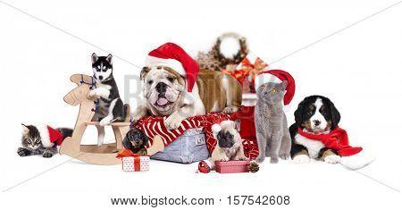 Bulldog in Santa hat and Bernese mountain dog,   french bulldog puppy