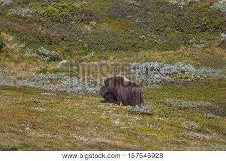 Male musk ox (Ovibos moschatus) standing in green and natural environment