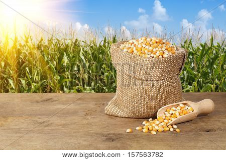 Corn seeds in sack. Dry uncooked corn grains for popcorn on nature background. Сorn grains in burlap bag with wooden scoop on wooden table with corn field with sunshine on background. Agriculture and harvest concept. Maize with maize field background