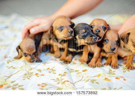 dachshund puppy. dachshund puppy portrait outdoors. many  cute dachshund puppy playing outdoor. Shorthaired Dachshound. A beautiful dachshund puppy dog with sad eyes dog portrait