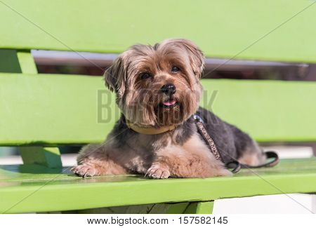 Yorkshire Terrier sitting on the green bench.