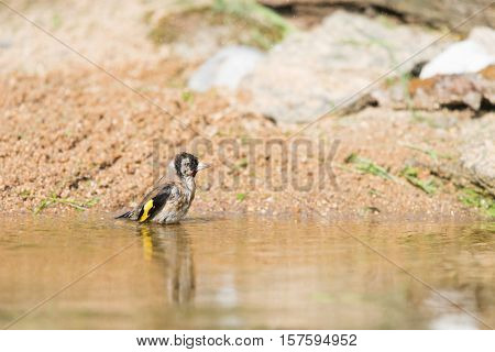 bathing European goldfinch in nature water