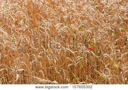Golden wheat field and red flower mak