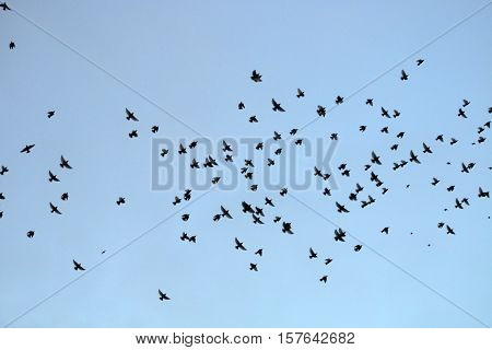A flock of Starlings silhouetted against a blue sky
