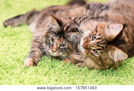 Mother cat licking little kitten\'s face. Maine Coon black tabby cat with her tortoiseshell kitty. Cl