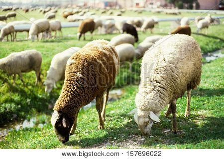 Two main sheep grazing in a field with other sheep in Spain