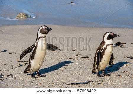 African Penguins Walk Out Of The Ocean On The Sandy Beach. African Penguin ( Spheniscus Demersus) Al