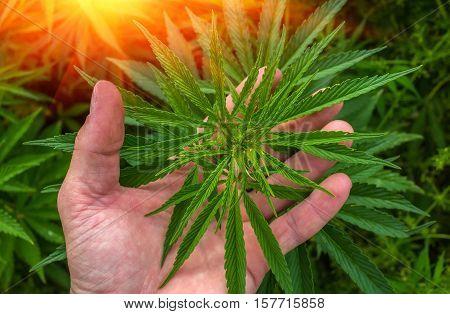 marijuana leaf on the palm. cannabis drug at sunset.