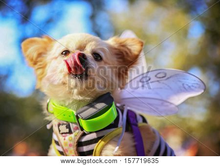 a cute chihuahua dressed in a butterfly costume enjoying the outdoors on a beautiful summer day