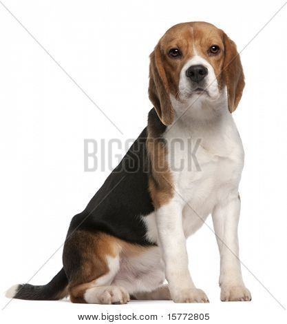 Beagle, 1 year old, sitting in front of white background