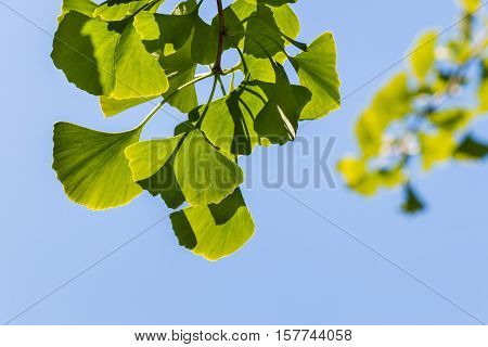 closeup of isolated ginkgo leaves on blue background