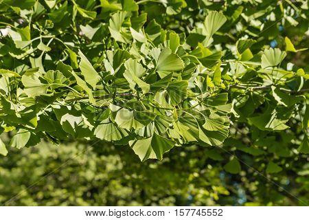 closeup of ginkgo biloba tree leaves background