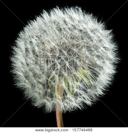 Extreme close-up image of dandelion with dark background