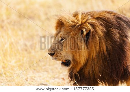 Side view portrait of big lion with bushy mane in nature habitat, Kenya, Africa