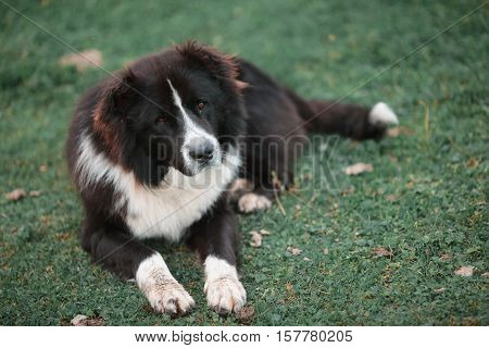 Pedigree dogs Shepherd lying on green grass.