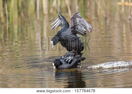 Two Eurasian coots (Fulica atra) during copulation in natural environment