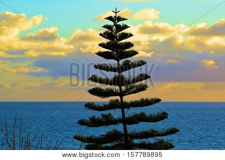 Araucaria Tree which is a coniferous evergreen tree native to the Southern Hemisphere taken in Laguna Beach, CA during sunset with the Pacific Ocean beyond