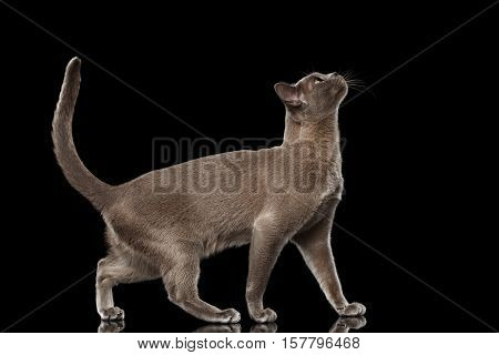 Blue Burmese Kitten, goes to prance and pull head up high, side view, on Isolated black background with reflection