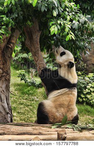 Big panda in zoo Hong Kong , Hong Kong