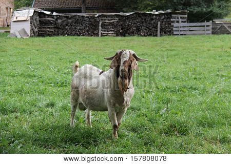 Goat / Lonely goat on a green meadow.