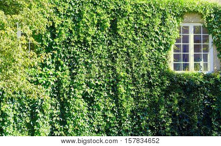 Wall covered with green loach and closed white window backdrop hd