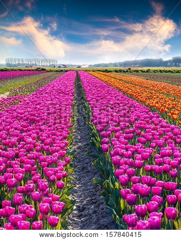 Agricultural Processing Tulip Flowers On The Farm Near The Rutten Town