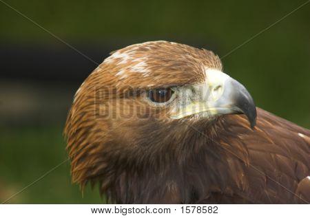 Bsp Eagle