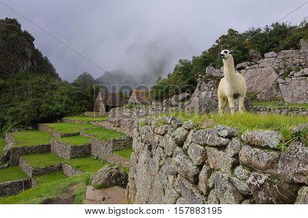 Alpaca ( lama ) in Machu Picchu Peru UNESCO World Heritage Site. One of the New Seven Wonders of the World