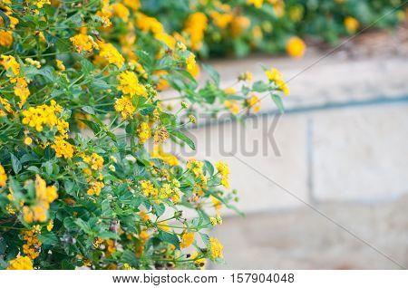 Yellow Texas lantana growing next to swinning pool with copy space.