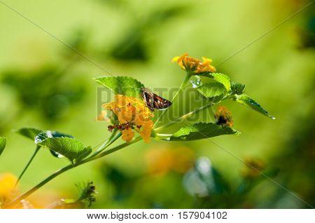 Beautiful yellow texas lantana with moth eating.