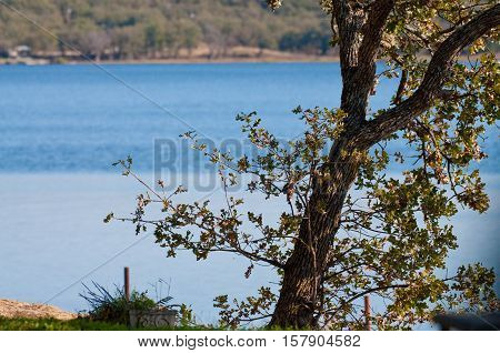 oak tree outdoors with blue tranquil lake in background.
