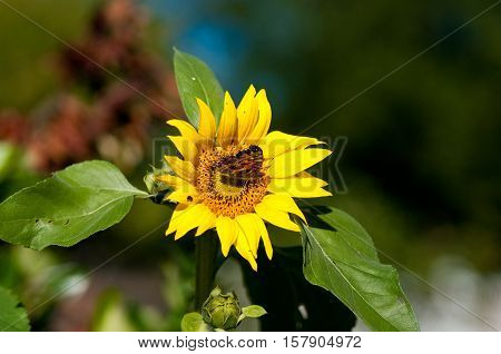 Close up of Monarch butterfly on a beautiful yellow sunflower.