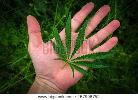 marijuana leaf on the palm. cannabis drug.