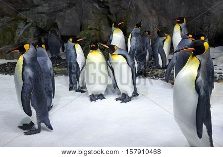 Group of King penguins in a colony. It's the second largest species of penguin in size second only to the emperor penguin.