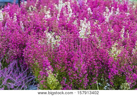 Pink purple and white Calluna Vulgaris flowers in the garden. Calluna Vulgaris also known as common heather or ling. It is a low-growing perennial shrub and is found widely in Europe and Asia