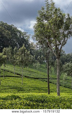 Nilgiri Hills India - October 25 2013: Portrait photo of tea plantation on of hill with lone trees planted throughout the field. Fifty shades of green and cloudy sky.