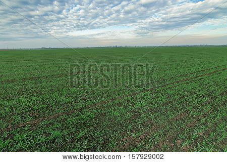 Winter Wheat Seedlings And Blue Sky. Young Wheat  In Field