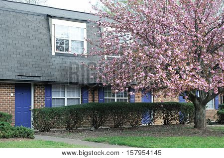 cherry blossom in front of townhouse in spring