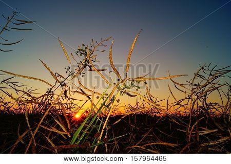 Ripe rape at sunset. Field of ripe rape.