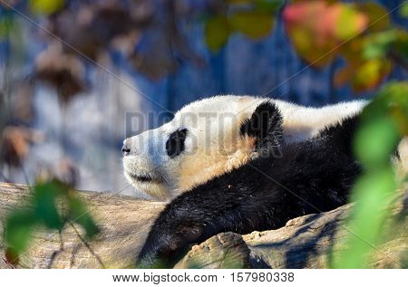 Baby Giant Panda rests
