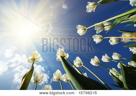 White tulips flowers growing over blue sky background. Wide angle view.