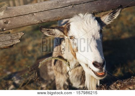 The goat looks out from behind a wooden fence outdoors on a sunny day.