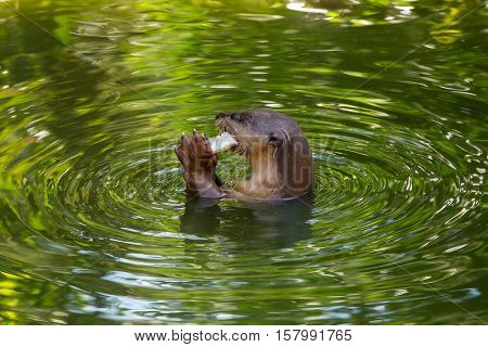 Otter eating fish in the water